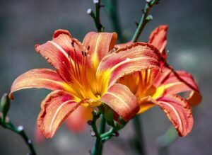 20th Anniversary Flower Day Lily