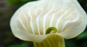 7th Anniversary Flower Jack-in-The-Pulpit
