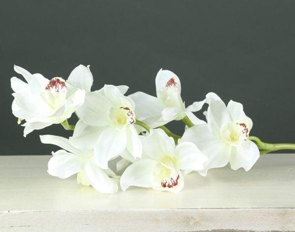 Tintagel Cymbidium Orchid White